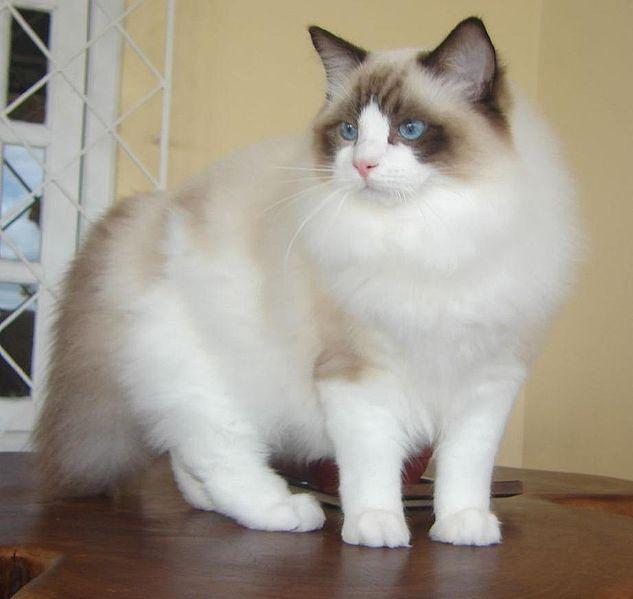 Long Haired Oriental Cat Ear Fluff