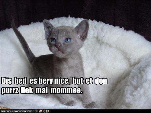 Gray Burmese Cat For Sale