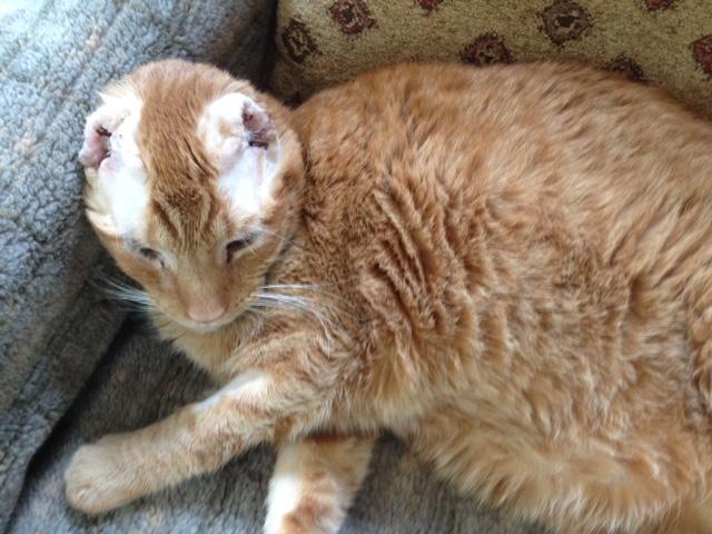 Declawed Cats For Adoption Phoenix Az