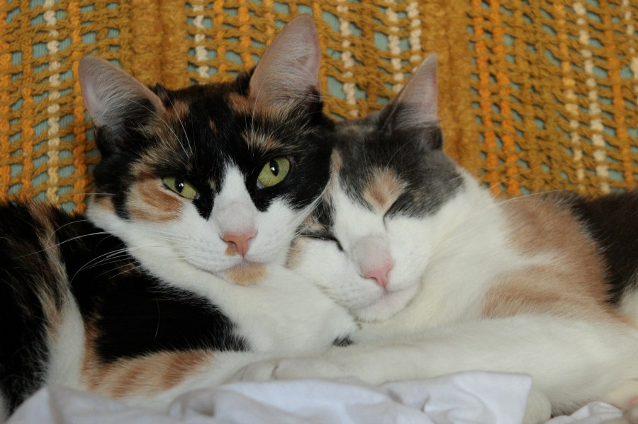 Calico And Dilute Calico Cats Way Of Cats Blog