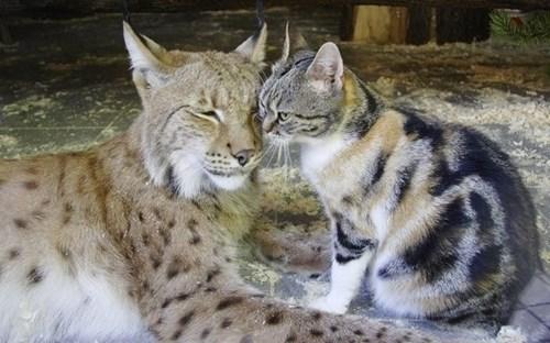 Their Love Lynx Them Together