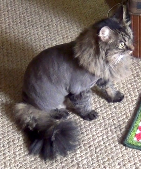 Cat Losing Hair Near Tail