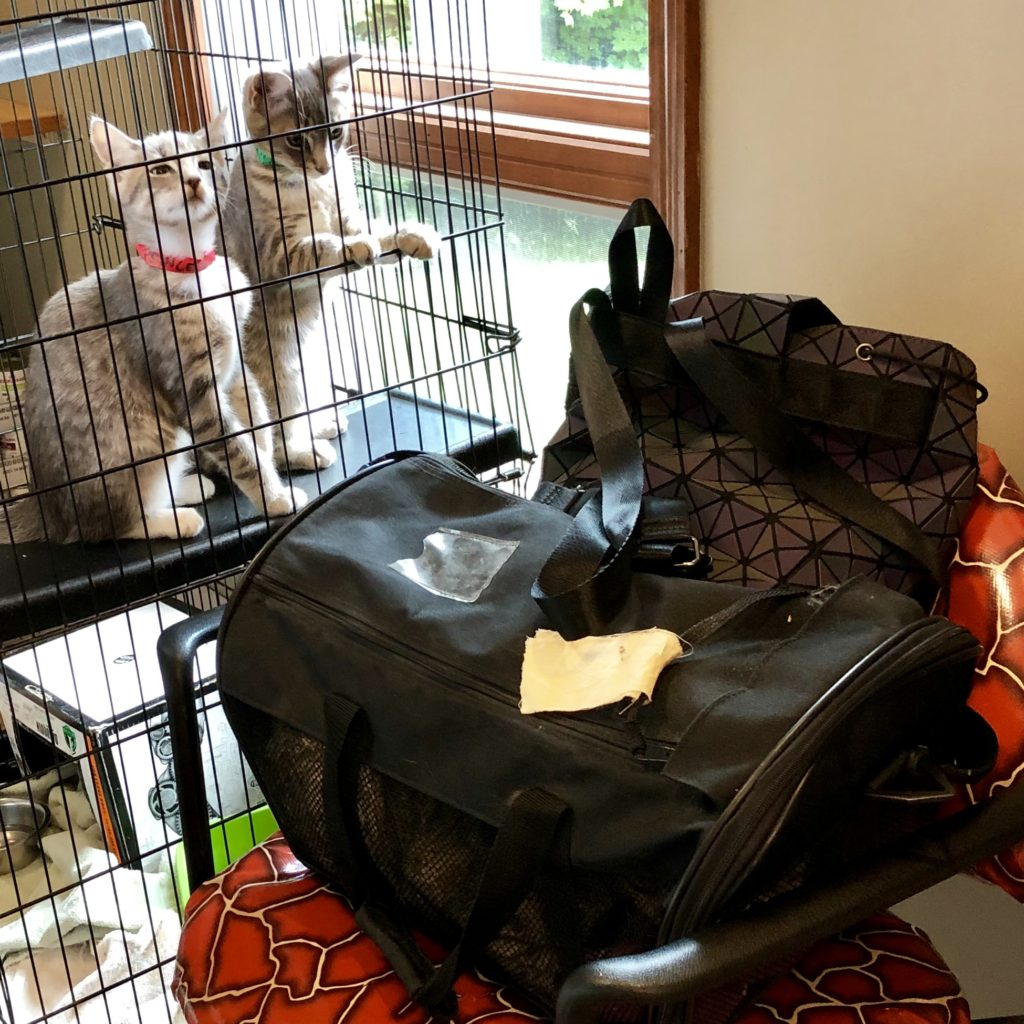 image of two gray tabby kittens reaching past their cage towards a cat carrier on the chair next to them